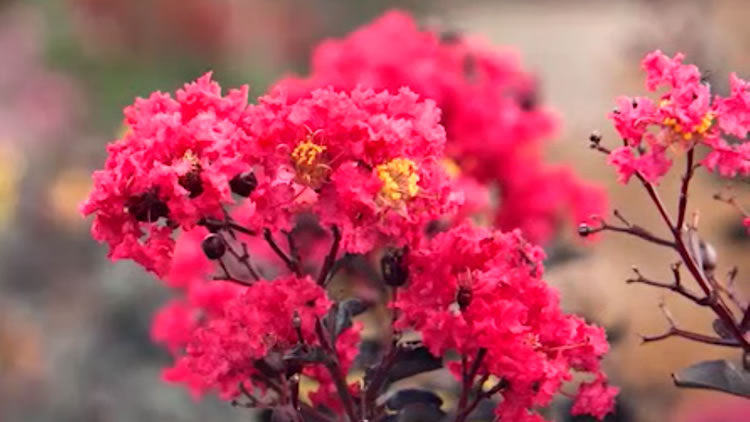 Diamonds in the Dark – Crepe Myrtles