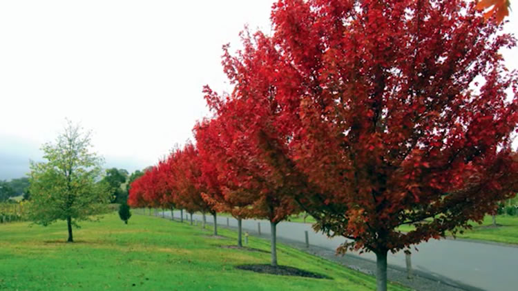 Fleming's Acer Autumn Bl